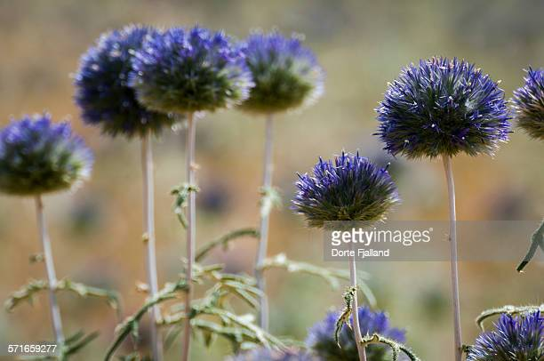 flowering globe thistles - dorte fjalland stock pictures, royalty-free photos & images