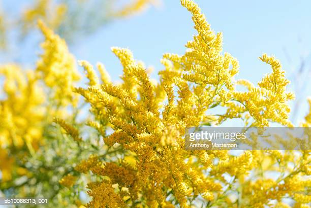 flowering goldenrod plant, close up - goldenrod stock pictures, royalty-free photos & images