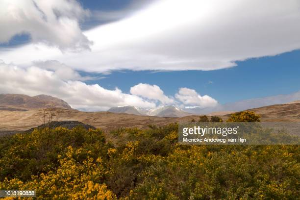 Flowering gorse in spring season and the peaks of the Black Mount Range, near the viewpoint at Loch Tulla, Central Highlands, Argyll and Bute, Scotland, United Kingdom.