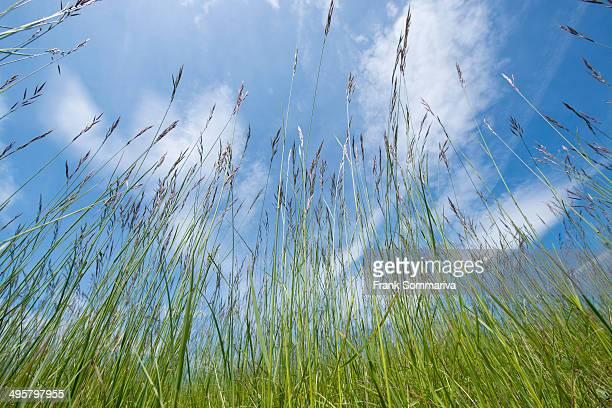 Flowering Grasses -Poaceae-, Thuringia, Germany