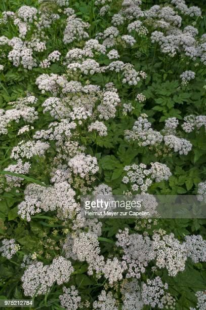 Flowering ground elder (Aegopodium podagraria), Germany