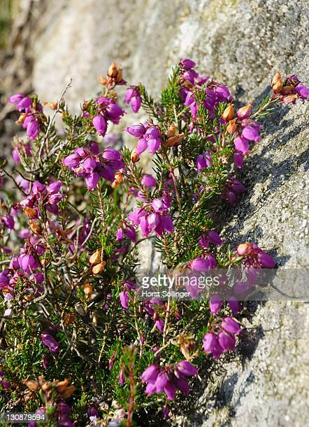 Flowering heath is growing close to granite rock; Ireland