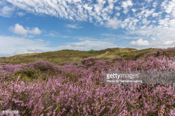 Flowering heather on Texel