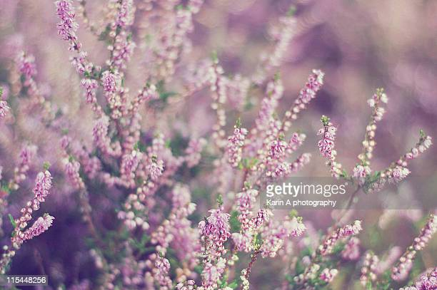 Flowering heather