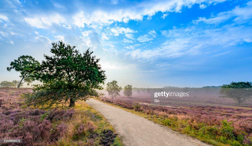 Bloeiende de installaties van de Heide in Het landschap van de heide tijdens zonsopgang in de zomer : Stockfoto