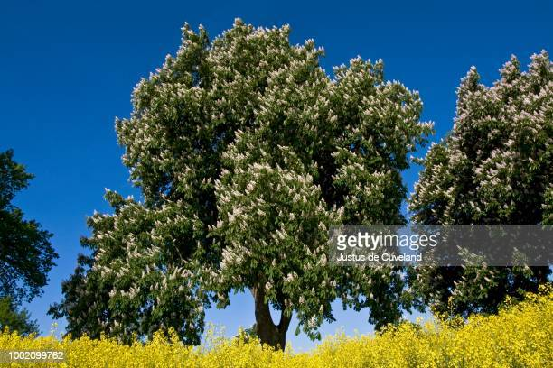 flowering horse chestnut or conker trees (aesculus hippocastanum) in a rape field (brassica napus), spring landscape in may, herzogtum lauenburg, schleswig-holstein, germany - picture of a buckeye tree stock photos and pictures