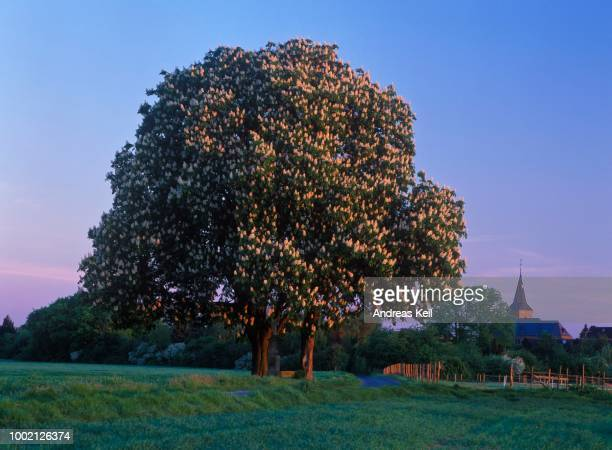 flowering horse-chestnut or conker tree (aesculus hippocastanum), dawn, libur, north rhine-westphalia, germany - picture of a buckeye tree stock photos and pictures