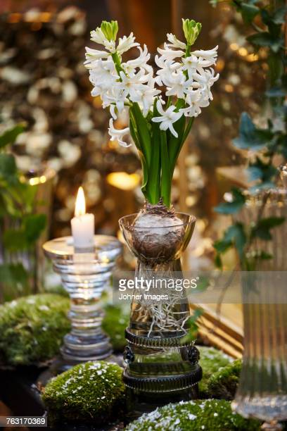 flowering hyacinth in vase - hyacinth stock pictures, royalty-free photos & images