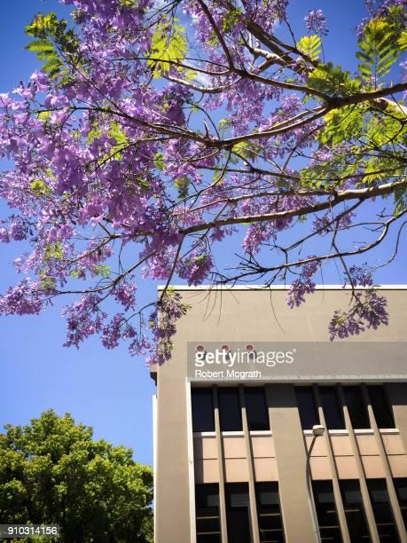 Flowering Jacaranda tree in front of restored Art Deco office building.