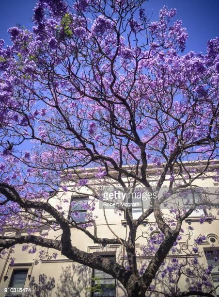 Flowering Jacaranda tree in front of Victorian facade