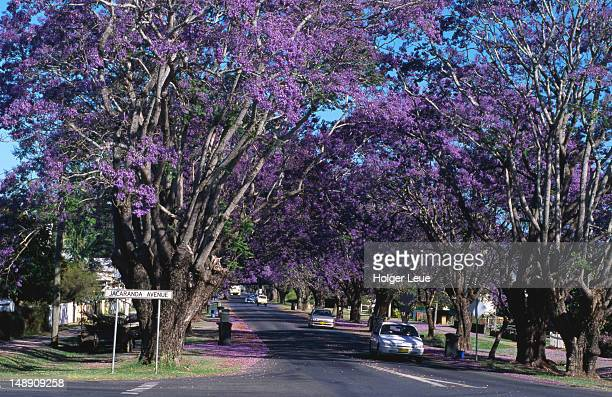 Flowering Jacaranda trees.