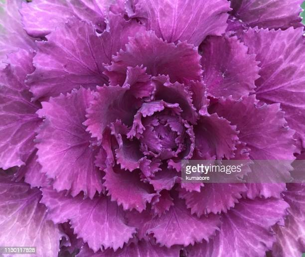 flowering kale - comida flores fotografías e imágenes de stock