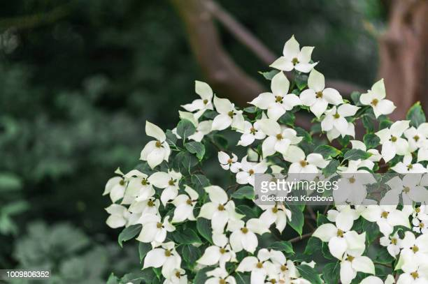 flowering kousa dogwood tree blooming in a formal garden. - kousa dogwood stock pictures, royalty-free photos & images
