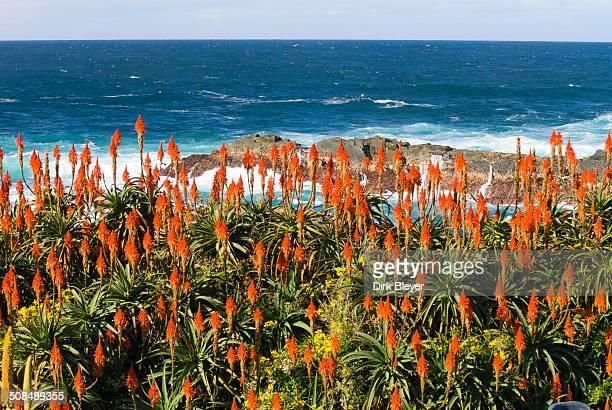 Flowering Krantz Aloe or Candelabra Aloe -Aloe arborescens- on the coast of the Indian Ocean, Garden Route National Park, Cacadu, Eastern Cape Province, South Africa