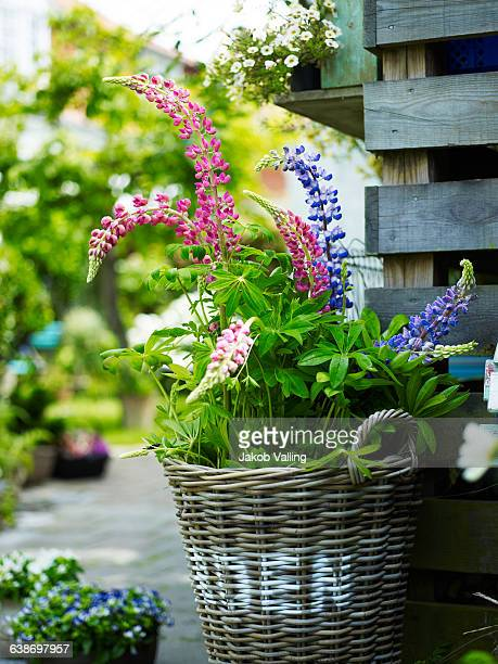 Flowering lupins in rustic wicker basket in garden