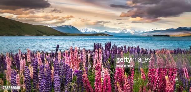 Flowering lupins on the shore of Lake Tekapo, Canterbury, South Island, New Zealand