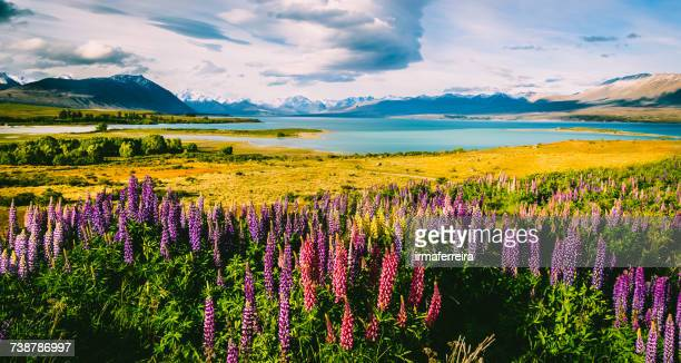 Flowering lupins on the shore of Lake Tekapo, Canterbury, South Island, New Zealand