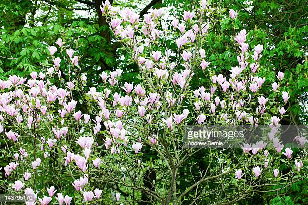 Flowering Magnolia