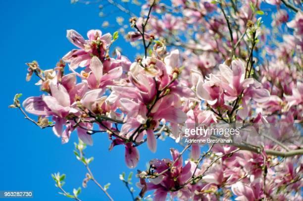 flowering magnolia tree branch - magnolio fotografías e imágenes de stock