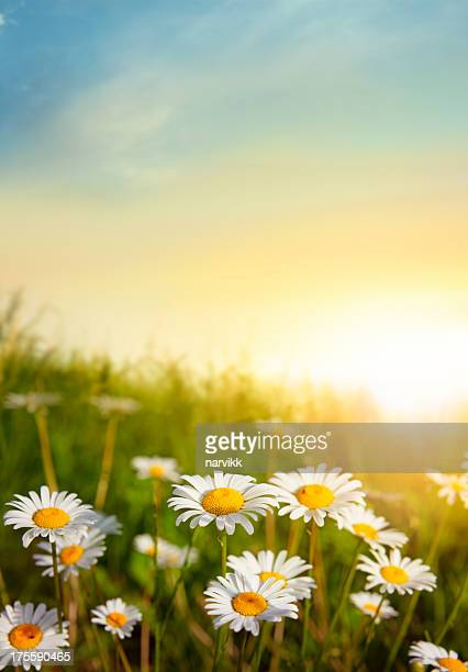 flowering meadow in sunset light - marguerite daisy stock photos and pictures