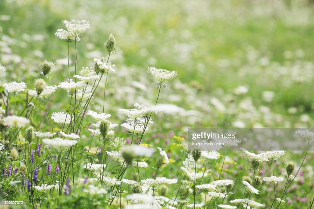 Flowering meadow with different wild flowers green meadow with white flowering meadow with different wild flowers green meadow with white flowers of wild carrot mightylinksfo