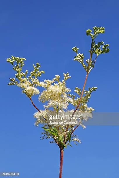 Flowering Meadowsweet, Mead wort -Filipendula ulmaria-, wild plant, wetland plant
