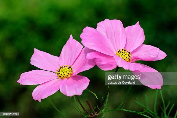 flowering Mexican Aster - Garden Cosmos (Cosmos bipinnatus)