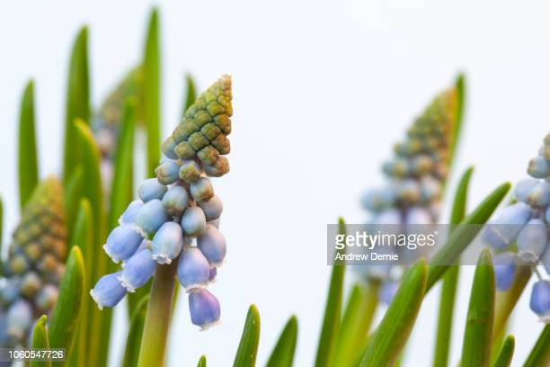 Flowering Muscari Armeniacum