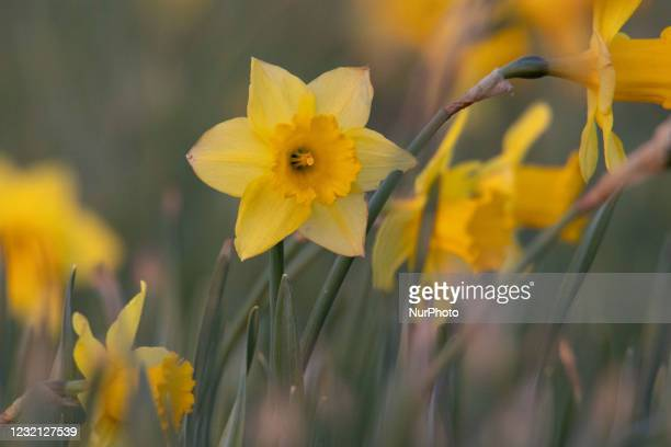 Flowering Narcissus pseudonarcissus species plants in the Spring season in the Netherlands, commonly known as wild daffodil or Lent lily, that is a...