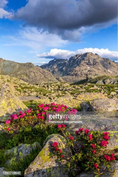 flowering of rhododendrons at sunset. - italia stockfoto's en -beelden