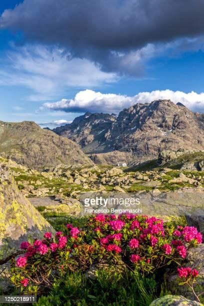 flowering of rhododendrons with view on an alpine hut. - italia stockfoto's en -beelden