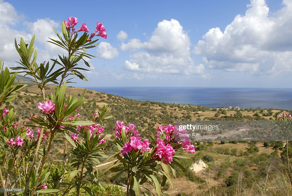 Flowering Oleander (Nerium oleander), landscape with sea near Latchi, Akamas, Southern Cyprus, Republic of Cyprus, Mediterranean Sea, Europe : Stock Photo