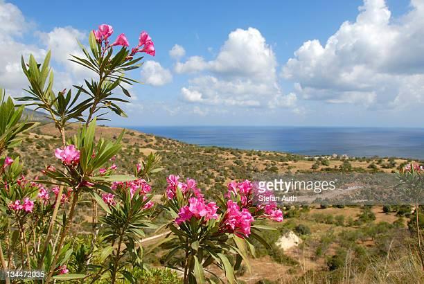 flowering oleander (nerium oleander), landscape with sea near latchi, akamas, southern cyprus, republic of cyprus, mediterranean sea, europe - latchi ストックフォトと画像