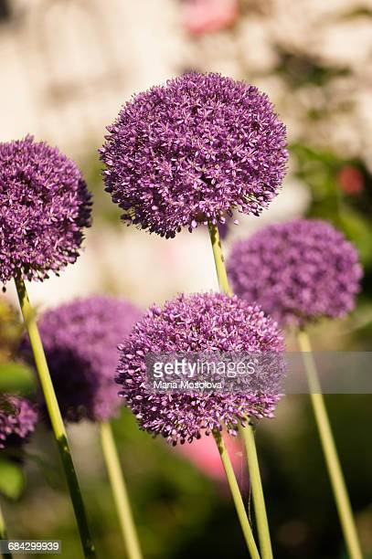 flowering onions in full bloom - allium flower stock pictures, royalty-free photos & images