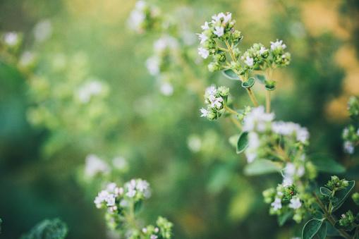 Flowering oregano in summer 1001997438