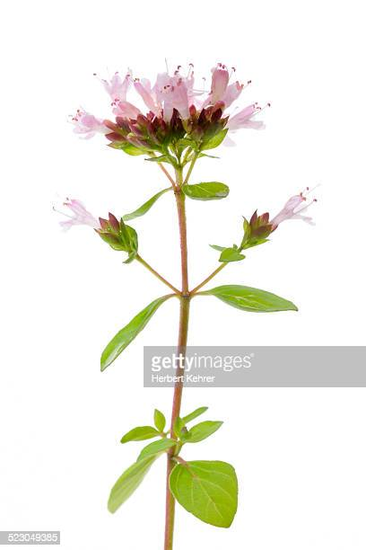Flowering Oregano -Origanum vulgare-