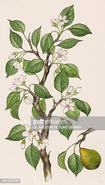 Flowering Pear branch and fruit Rosaceae drawing