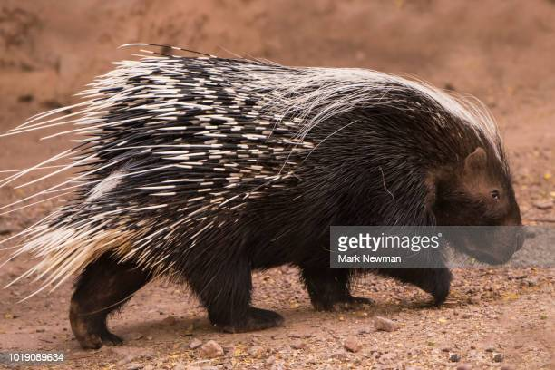 flowering - porcupine stock photos and pictures
