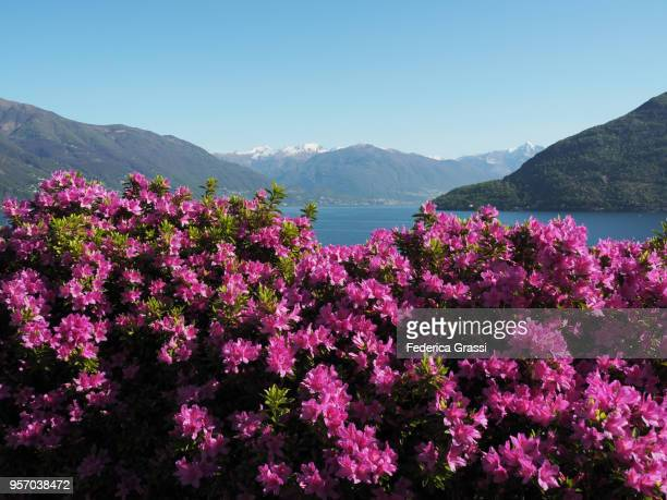 Flowering Pink Azaleas in a garden on Lake Maggiore, Northern Italy, Province of Verbano Cusio Ossola, Piedmont Region. During the springtime the area attracts lots of tourists for its endemic flora such as Rhododendrons, Camellias, Azaleas and Hydrangeas