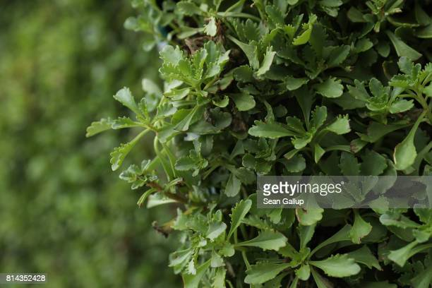 A flowering plant called wallpepper shields an underlying layer of moss from the sun on a CityTree on July 13 2017 in Berlin Germany The CityTree a...