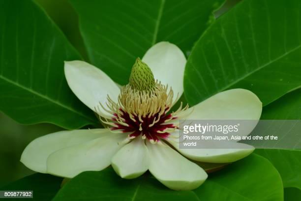 flowering plant / magnolia obovata / japanese big leaf magnolia - magnolia obovata stock photos and pictures