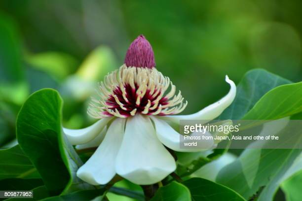 flowering plant / magnolia obovata / japanese big leaf magnolia - hermaphrodite photos et images de collection
