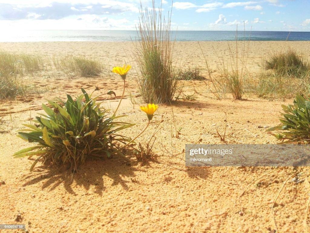 Flowering Plant On Sand Dunes Praia do Garrão Poente (Dunas Douradas). Faro. Portugal : Stock Photo