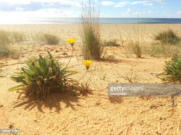 flowering plant on sand dunes praia do garrão poente (dunas douradas). faro. portugal - faro city portugal stock photos and pictures