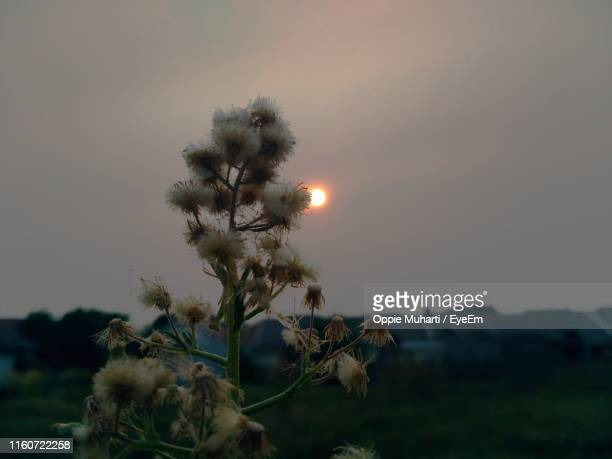 flowering plants on field against sky during sunset - oppie muharti stock pictures, royalty-free photos & images
