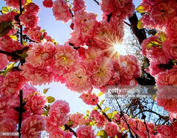 Flowering plum (Damask rose)