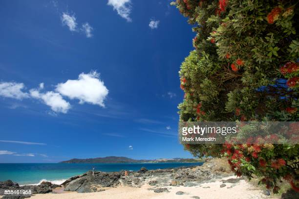 Flowering pohutukawa at Cable Bay in Doubtless Bay, Northland, New Zealand