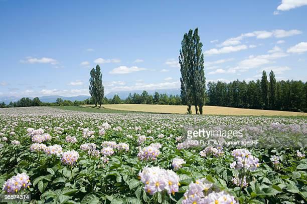 Flowering potato field and poplar trees, Biei, Hokkaido, Japan