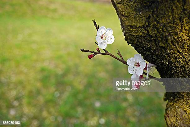 Flowering prunus twig.