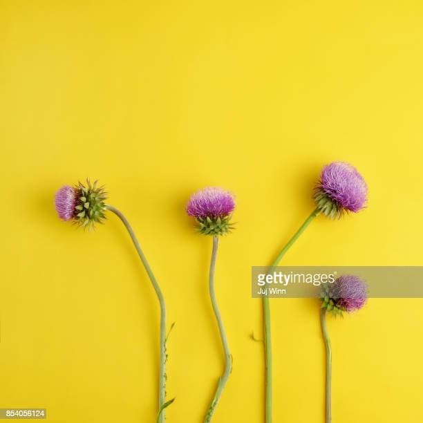 Flowering purple thistles